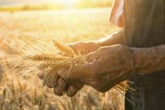 Azzerato l'import di grano canadese per pasta