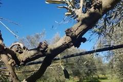 Xylella fastidiosa: attività di monitoraggio anche a Minervino
