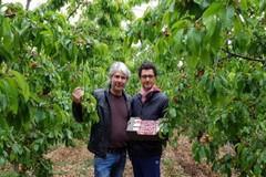 """Raccolta ciliegie, Coldiretti: """"Ottima qualità ma -25% produzione"""""""
