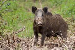 Fauna selvatica in Puglia, cinghiali e lupi raddoppiati in 10 anni