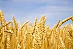 Profonda siccità in Puglia, sulla Murgia -70% di grano