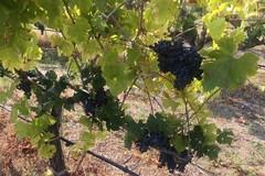 Coldiretti: Vendemmia in Puglia, +15% di vino rispetto al 2017