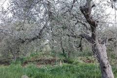 """Maltempo, Coldiretti: """"Sale la conta dei danni, strage di ulivi nelle province di Bari e Bat"""""""