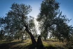 Cia Puglia: da Agea contributi aggiuntivi per 100 olivicoltori