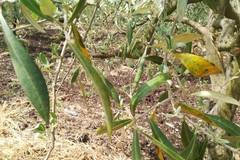 Maltempo: è strage di ulivi, danno + 40% in aree colpite