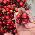 Maltempo, disastro nelle campagne pugliesi: gravi danni alle ciliege
