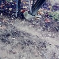 Assalto a tendoni di uva a Minervino Murge, tagliati tiranti