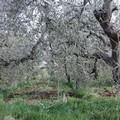 Furti di olive: Unaprol denuncia anche piante danneggiate e divelte