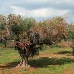 """""""E' un bollettino di guerra negli oliveti """": sos della Coldiretti"""