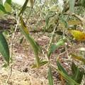 Un milione per l'olivicoltura pugliese colpita dal gelo a marzo scorso