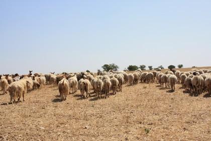 Pecore murgiane
