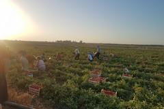 A rischio la produzione agricola, in Puglia arrivano 320 lavoratori extracomunitari