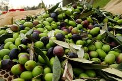Olive, prezzi a picco. Le associazioni: «Non copriamo neanche le spese»