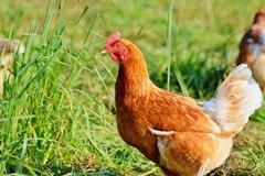 Pollo biologico sulle Murge? Lo propone l'azienda Amadori