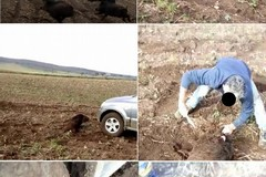 Cinghiale investito e sgozzato sulla Murgia, il video su whatsapp