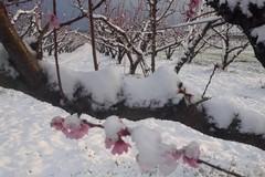 Nevicate primaverili, perso il 90% della produzione