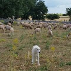 Pastori per un giorno nei pascoli di Minervino Murge