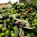 Arriva l'olio nuovo in Puglia, «Qualità eccellente ma dimezzata la produzione»