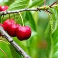 """Allarme insetti  """"alieni """", a rischio frutti rossi e agrumi"""
