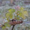 Maltempo e gelo, a Minervino compromessi vigneti e alberi da frutto