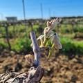 Gelate notturne in Puglia, gravi danni e raccolti compromessi