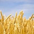 Razzia di grano duro nelle ultime notti anche nel territorio di Minervino