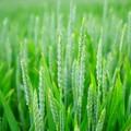 Grano verde, il nuovo superfood cresce sulla Murgia