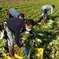 Agricoltura, ok all'arrivo di 18mila lavoratori stagionali extracomunitari