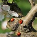 Coccinelle, gli insetti portafortuna invadono la Bat