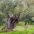 Xylella a Canosa, Pentassuglia rassicura: «Si tratta di un focolaio isolato»